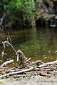 Ness Creek 2014 (14724596933).jpg