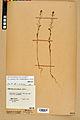 Neuchâtel Herbarium - Camelina microcarpa - NEU000022956.jpg