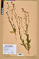 Neuchâtel Herbarium - Camelina microcarpa - NEU000022970.jpg