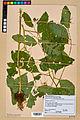 Neuchâtel Herbarium - Impatiens noli-tangere - NEU000019942.jpg