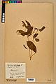 Neuchâtel Herbarium - Impatiens noli-tangere - NEU000019950.jpg