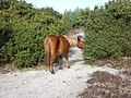 New Forest pony - geograph.org.uk - 1286704.jpg