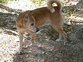 New Guinea Singing Dog looking back.jpg