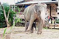 New born elephant (30 oct 2010) name nong larnkoon at elephant village (Bantaklang) - panoramio (4).jpg