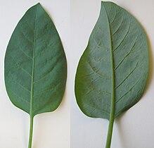 Nicotiana glauca leaf Los Angeles.jpg