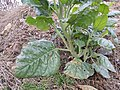 Nicotiana rustica sl6.jpg
