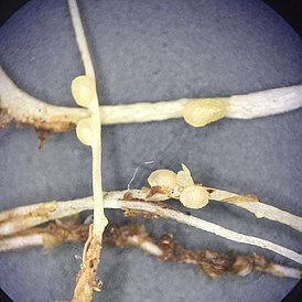 Nitrogen fixing nodules in clover roots.jpg