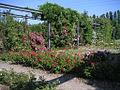 Nordstern rosen.jpg