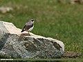 Northern Wheatear (Oenanthe oenanthe) (31317059723).jpg