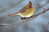Northern cardinal by Barnes, Dr.Thomas G.jpg