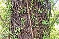 Nothofagus solandri in Wellington Botanical Garden (1).jpg