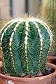 Notocactus magnificus 2zz.jpg