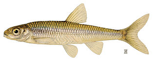 Mimic shiner Species of fish
