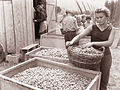Obiranje hmelja v Savinjski dolini 1961 (3).jpg