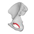 Obturator foramen 04 medial view (Right hip bone).png