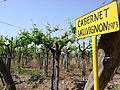 Old cabernet vines in Argentina.jpg
