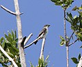 Olive-sided Flycatcher, Arenac Co., MI, 8 September 2013 (9706972526).jpg