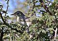 Olive-tree warbler, Hippolais olivetorum, at Zaagkuildrift Road near Kgomo Kgomo, Limpopo, South Africa (33525148646).jpg