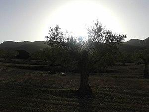 Olivo ecológico y atardecer en la Sierra de Salinas, Yecla (Murcia).jpg