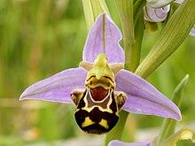 Ophrys apifera (flower).jpg