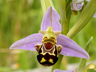 Fertilisation of Orchids - The bee orchid does not have nectar, but its labellum, imitating a female bee, attracts male bees. Darwin found that in northern Europe, it is mostly self-fertilising.