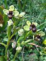 Ophrys bombyx. ophrys bombyliflora. Mahieddine Boumendjel.JPG