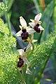 Ophrys exaltata zingaro 111.jpg