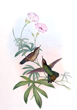 Opisthoprora euryptera.jpg