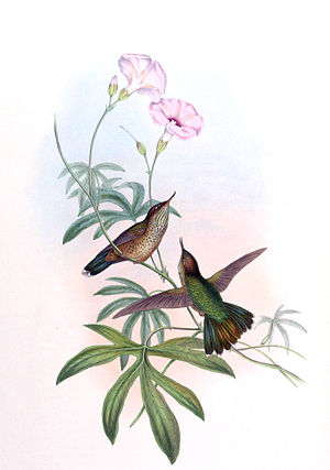 Mountain avocetbill - Image: Opisthoprora euryptera