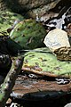 Opuntia humifusa 14zz.jpg
