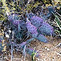 Opuntia macrocentra - Black-Spined-Prickly-Pear- (4487306990).jpg