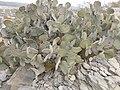 Opuntia rufida (5668794999).jpg