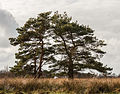 Opvallende vliegdennen (Pinus sylvestris). Locatie, natuurgebied Delleboersterheide – Catspoele 02.jpg