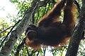 Orang Utan Sumatera Bukit Lawang.jpg