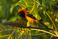 Orange-backed Troupial - Pantanal - Brazil H8O2146 (23806855911).jpg