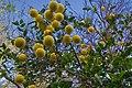 Orange tree (347689349).jpg