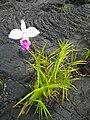Orchidée sur la lave de 2001 - Ile de la Réunion.jpg