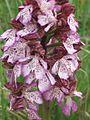 Orchis purpurea k2.JPG