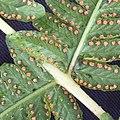 Oreopteris limbosperma inat2.jpg