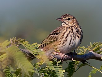 Tree pipit - Image: Oriental Tree Pipit