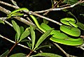 Oriental Vine Snake (Ahaetulla prasina) (8754419578).jpg