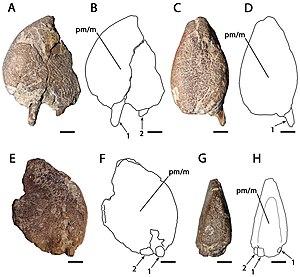 Ornithocheirus - Referred specimens MANCH L10832 and NHMUK PV 35412