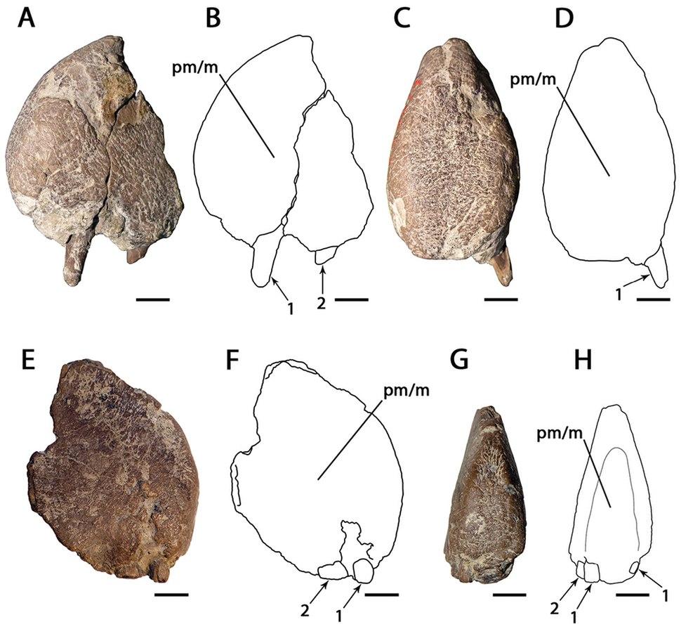 Ornithocheirus MANCH L10832
