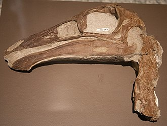 Ornithomimus - Skull and neck of Ornithomimus sp. (RTMP 95.110.1)