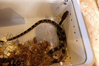 Juvenile100 Flower Snake