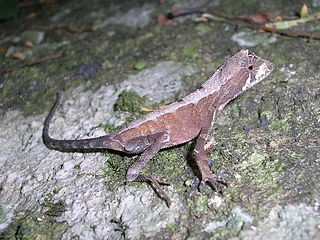 <i>Otocryptis beddomii</i> Species of Indian lizard