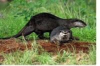 Otter Kadalundi 04 (2912651814).jpg