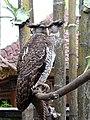 Owl at Puri Saren Agung.jpg
