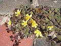 Oxalis corniculata planten.jpg