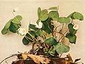 Oxalis montana WFNY-107B.jpg